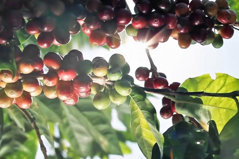 Wie wird aus der Kaffeekirsche eine Rohbohne?