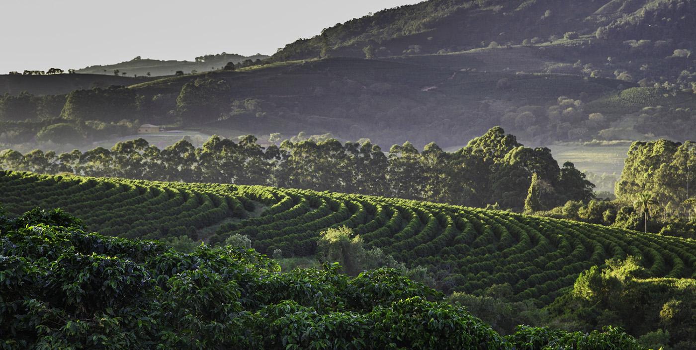 sirocco_kaffeepflanzen